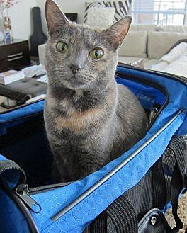 Domestic Shorthair Cat for adoption in Santa Ana, California - Peaches