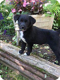 Border Collie Mix Puppy for adoption in Regina, Saskatchewan - Gemma