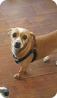 Chihuahua Mix Dog for adoption in Santee, California - Mimi