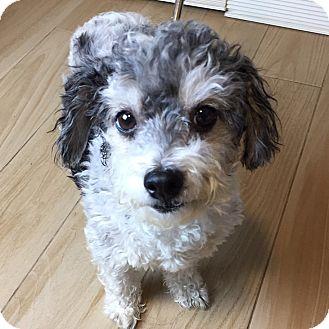 Poodle (Miniature)/Schnauzer (Miniature) Mix Dog for adoption in Redondo Beach, California - Cleopatra