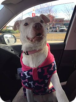 American Staffordshire Terrier/American Bulldog Mix Dog for adoption in Harrisville, Rhode Island - Addy