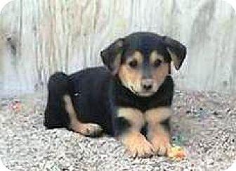 Shepherd (Unknown Type) Mix Puppy for adoption in Las Vegas, Nevada - Kitty's Kilo