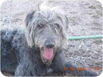 Irish Wolfhound/Poodle (Standard) Mix Dog for adoption in Thatcher, Arizona - Jake