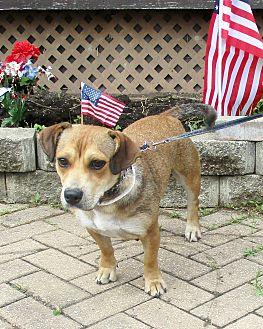 Shepherd (Unknown Type)/Basset Hound Mix Dog for adoption in West Chicago, Illinois - Rosena