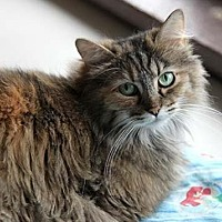 Domestic Longhair Cat for adoption in Pittsburgh, Pennsylvania - Virginia