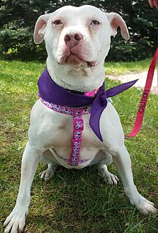Terrier (Unknown Type, Medium)/American Pit Bull Terrier Mix Dog for adoption in Detroit, Michigan - Vicki Vale - Foster Needed