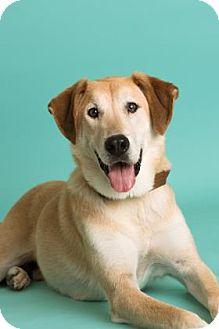 Labrador Retriever Mix Dog for adoption in Dallas, Texas - Lennon
