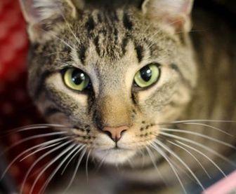 Domestic Shorthair/Domestic Shorthair Mix Cat for adoption in Huntingdon, Pennsylvania - Donnie