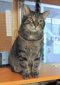 Domestic Shorthair/Domestic Shorthair Mix Cat for adoption in Westville, Indiana - Vincenzo