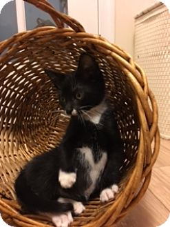 Domestic Shorthair Kitten for adoption in Whitehall, Pennsylvania - Blaine