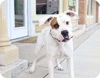 American Bulldog Mix Dog for adoption in Olivet, Michigan - Heidi