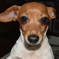 Adopt A Pet :: Lady Bug  Lower fee  Celebrate Home Dog - Yardley, PA
