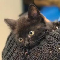 Adopt A Pet :: Sasuke - Waldorf, MD
