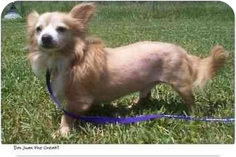 Chihuahua Mix Dog for adoption in Chesapeake, Virginia - Don Juan