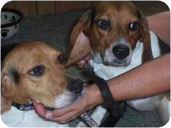 Beagle Dog for adoption in Ventnor City, New Jersey - PAIGE & MARISSA