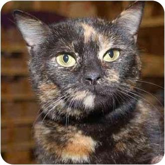 Domestic Shorthair Cat for adoption in Stafford, Virginia - Ingrid