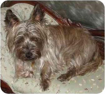 Cairn Terrier Dog for adoption in Long Beach, New York - Ozzie