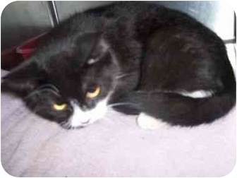 Domestic Shorthair Cat for adoption in Chepachet, Rhode Island - Chewy