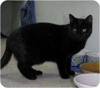 Domestic Shorthair Cat for adoption in Belleville, Michigan - Fairlane
