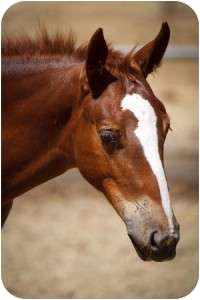 Quarterhorse/Other/Unknown Mix for adoption in El Dorado Hills, California - Jewel
