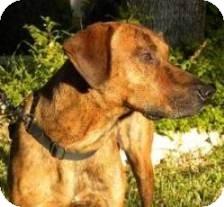 Plott Hound Mix Dog for adoption in Schertz, Texas - Seminole