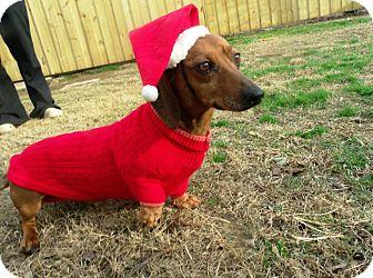 Dachshund Dog for adoption in Gadsden, Alabama - Paco