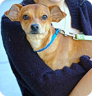 Chihuahua/Terrier (Unknown Type, Small) Mix Dog for adoption in Baton Rouge, Louisiana - Squeaky