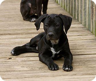 Labrador Retriever Mix Puppy for adoption in Spring Valley, New York - Happy