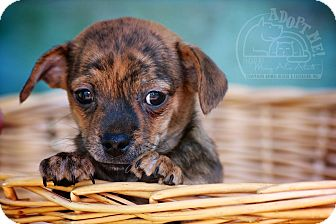 Dachshund/Chihuahua Mix Puppy for adoption in Albany, New York - Little Man
