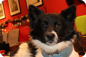 Pomeranian Mix Puppy for adoption in Los Angeles, California - Scorsese