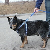 Australian Cattle Dog/Blue Heeler Mix Dog for adoption in Guelph, Ontario - Bear (Kevin)