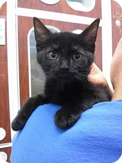 Domestic Shorthair Cat for adoption in Reisterstown, Maryland - George