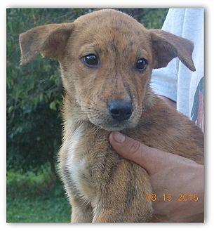 Dutch Shepherd/Husky Mix Puppy for adoption in Earlville, New York - Stella