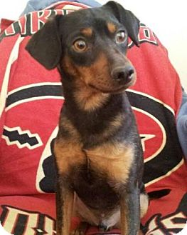 Miniature Pinscher/Manchester Terrier Mix Dog for adoption in Gilbert, Arizona - Marco