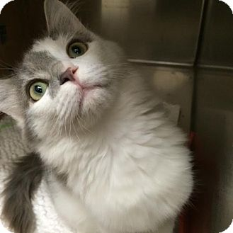 Norwegian Forest Cat Cat for adoption in McDonough, Georgia - Tailbotton