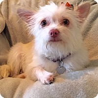 Yorkie, Yorkshire Terrier/Maltese Mix Dog for adoption in San Pedro, California - Savannah