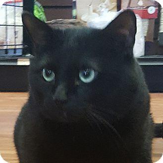 Domestic Shorthair Cat for adoption in Toronto, Ontario - Rupert