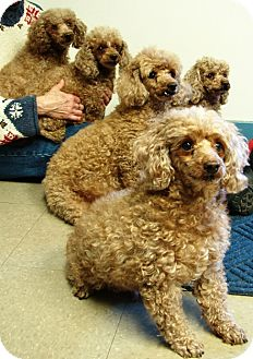 Poodle (Miniature) Dog for adoption in Winfield, Pennsylvania - Sugar