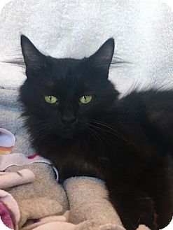 Domestic Longhair Cat for adoption in Sedalia, Missouri - Hope