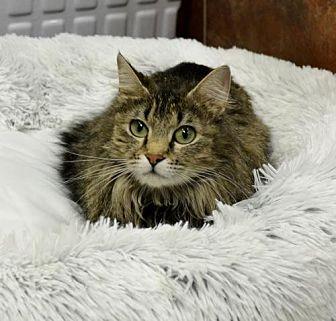 Domestic Longhair Cat for adoption in Horn Lake, Mississippi - Josie