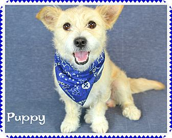 Terrier (Unknown Type, Small) Mix Dog for adoption in PHOENIX, Arizona - Puppy