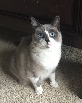 Siamese Cat for adoption in Sterling Heights, Michigan - Zaria