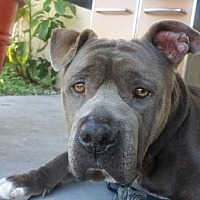Mastiff/American Bulldog Mix Dog for adoption in Pompano beach, Florida - Angel