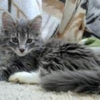 Domestic Mediumhair/Domestic Shorthair Mix Cat for adoption in Athabasca, Alberta - Aspen