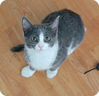 Russian Blue Kitten for adoption in Los Angeles, California - Harry Pawter
