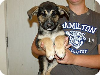 German Shepherd Dog/Shepherd (Unknown Type) Mix Puppy for adoption in Corona, California - GSD PUPS FEMALE