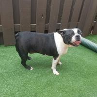 Adopt A Pet :: Pending Adoption *Bonded Pair* HANK - Greensboro, NC