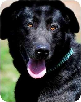 Labrador Retriever Mix Dog for adoption in Pawling, New York - BARRON