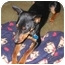 Photo 2 - Miniature Pinscher Dog for adoption in Greensboro, North Carolina - MAX