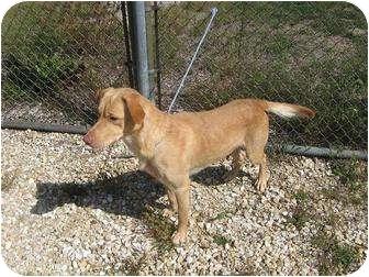 Labrador Retriever Mix Dog for adoption in Monmouth, Illinois - Yeller
